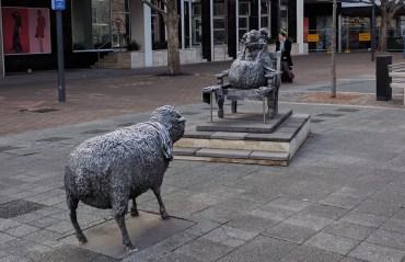 Canberra Sheep