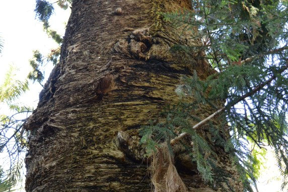 Hoop Pine