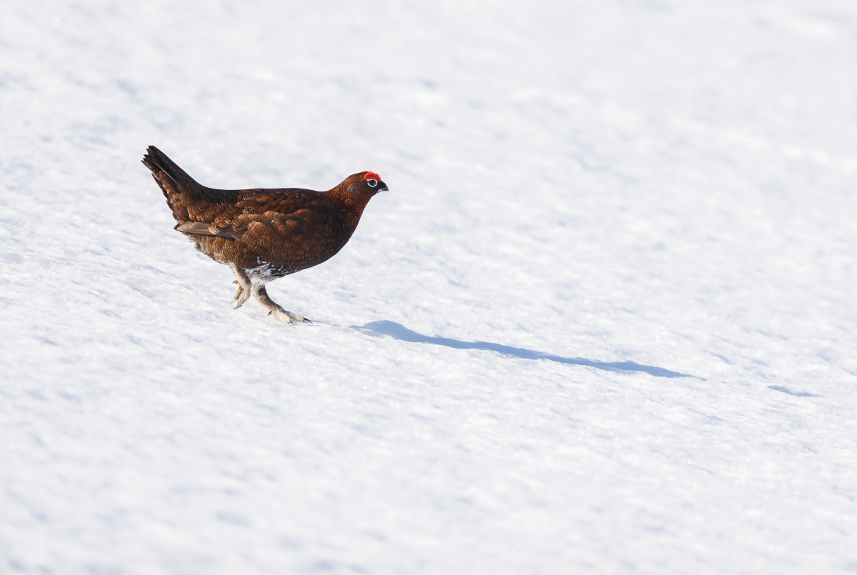 Red Grouse In Snow James Rodphotography