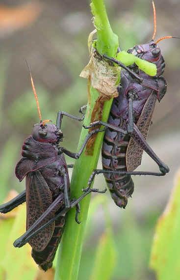 Buy locusts to eat