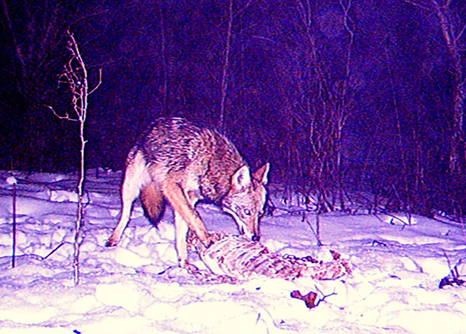 Coyotes, crows, raccoons, skunks, bobcats, hawks, blue jays, cardinals and many other creatures survive the winter thanks to their ability to find sustenance even in a frozen deer carcass.