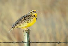 Two well-known local naturalists and birders, Ruth Lundin and Jim Berry, are presenting virtual birding sessions for Audubon Community Nature Center. This photograph of a Meadowlark by Richardson, Texas, photographer Maddie Nolan was a Youth Winner in an Audubon Nature Photography Contest. (For information about this year's photo contest visit ACNCPhotoContest.com)