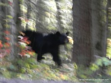 This black bear was too close in Gatlinburg TN, and apparently the earth was shaking.