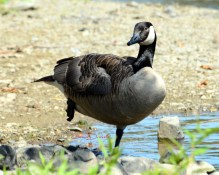 Canada Goose- They are as common here as Cattle Egrets in Florida. Everywhere.