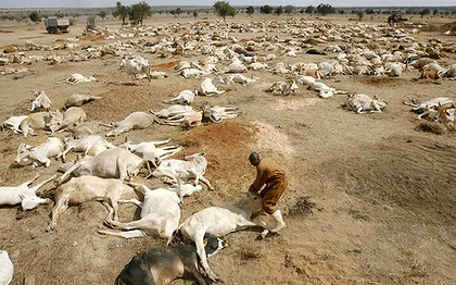 A worker tries to lift a weak cow from among the carcasses of drought-stricken cows in a paddock. Photo: Reuters/Thomas Mukoya
