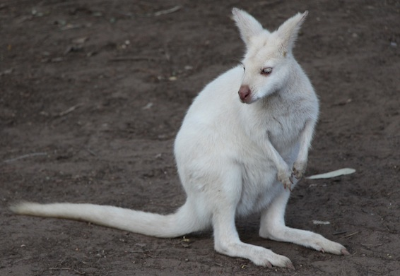 WhiteWallaby