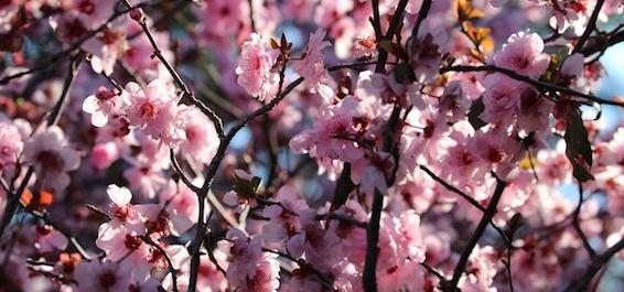 cherryBlossom2013