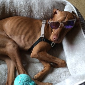 vizsla in sunglasses