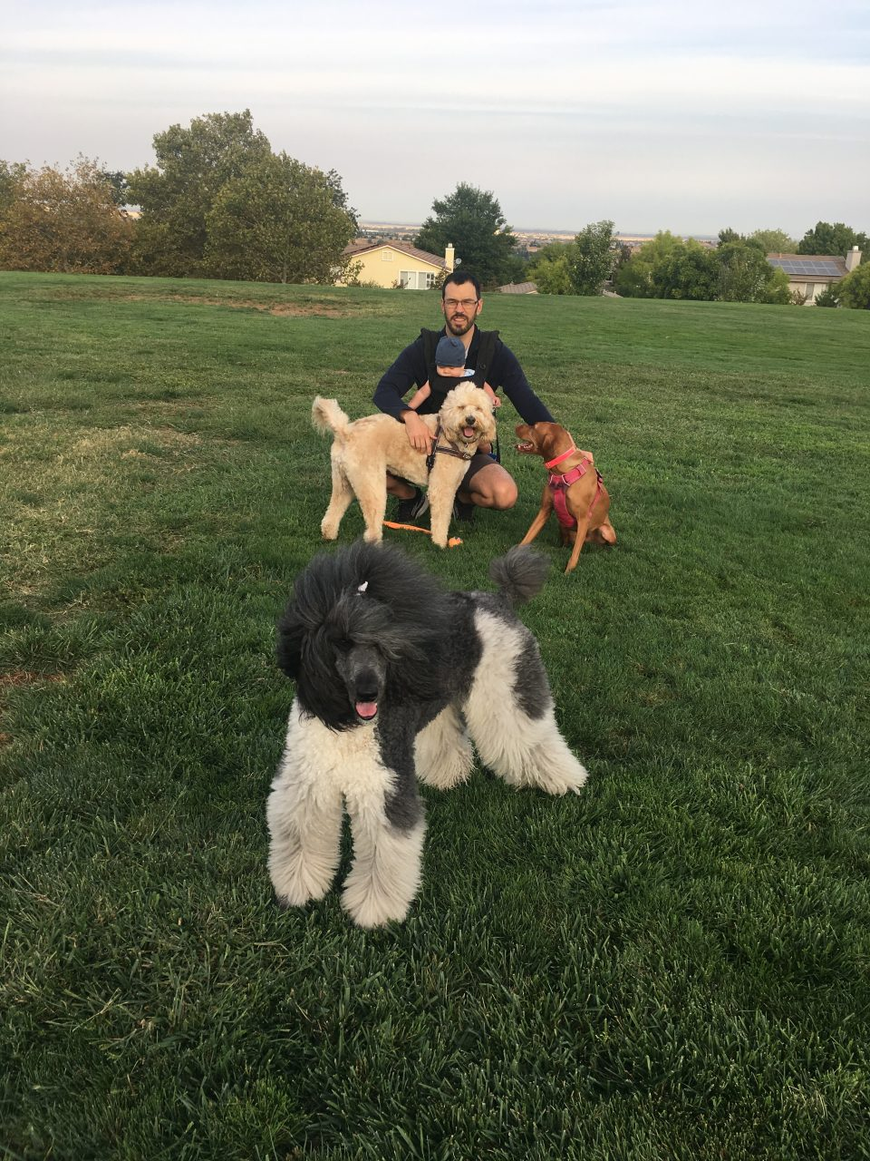 dogs poodles and vizslas