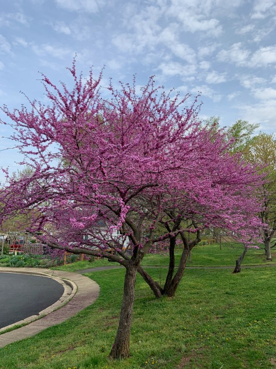 A tree in bloom on my morning walk.