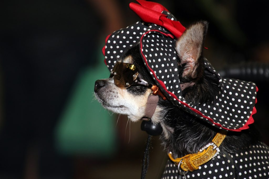 funny picture of a black chihuahua with a frilly polka dot hat with red frills - talking about small, and simple ideas in business