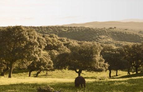 Image d'une chênaie verte dans la Valle de los Pedroches