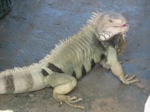 img_2046 Iguana pet