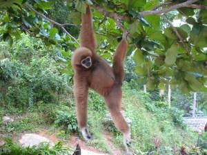 lamyai-hanging-around Lamyai hanging around