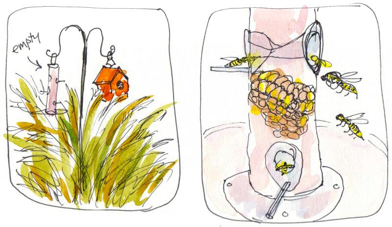 3. Millet grass grows under feeder. 4. Wasps move in.