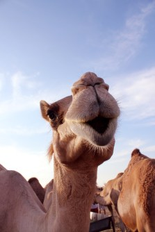 camelkiss