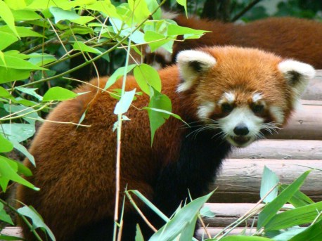 Red Pandas!!