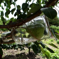 How do you get a full-grown pear inside a Brandy bottle?