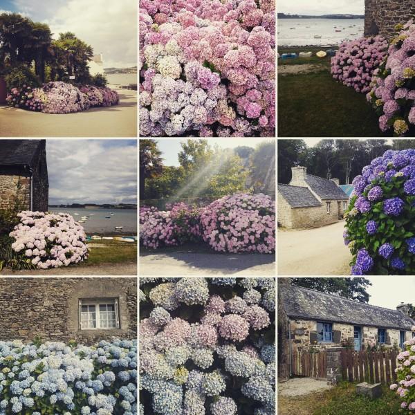 Hortensien Blüte in der Bretagne, Frankreich