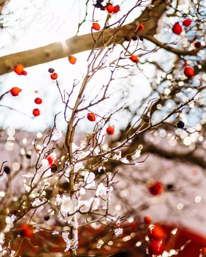Echte Mehlbeere, Frost, Makro, Schnee, Sorbus aria, Winter, beeren, blauer Himmel, rote Beeren