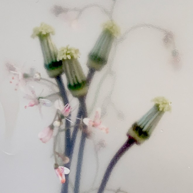 Blumenfotografie mit dem Smartphone von Maja Zenz