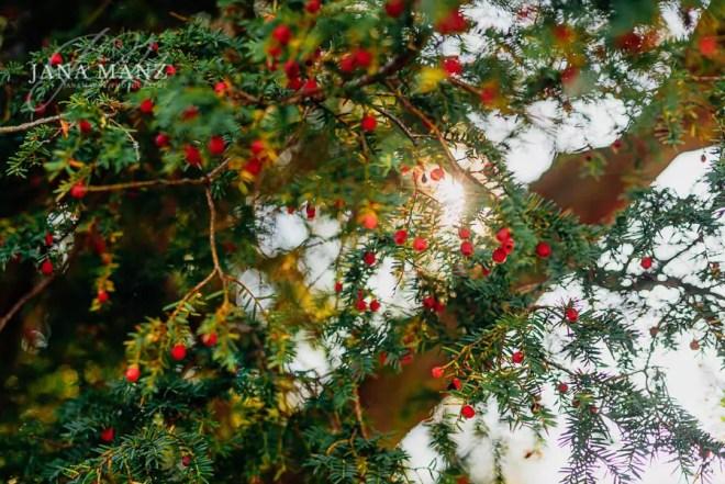 Naturfotografie Vom Unheimlichen, Numinösen und Geheimnisvollen – Die Eibe