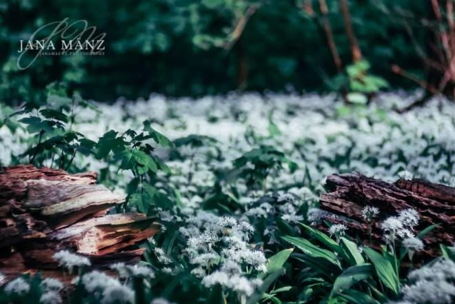 Naturfotografie: Bärlauchblüte im Auwald, Leipzig