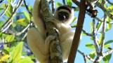 Madagascar Sifaka lemur