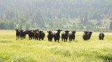 Road-trip-national-parks-USA-cows-summer-2013