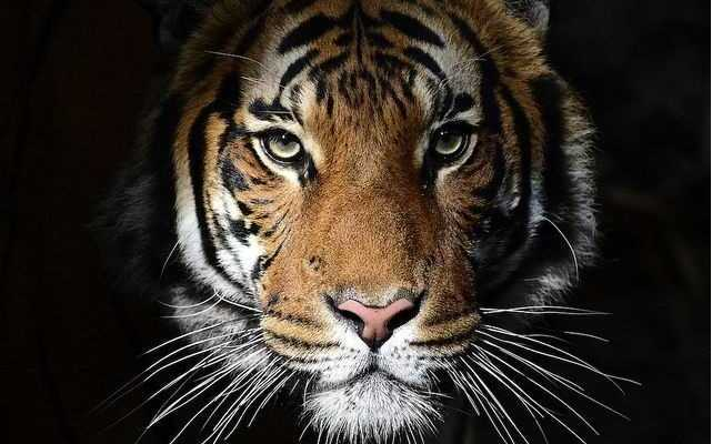 world international tiger day 2020