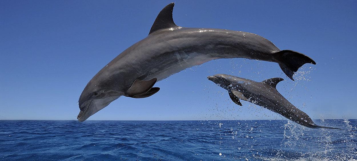 मानव के लगभग समकक्ष बुद्धिमान प्राणी डॉल्फिन विलुप्ति के कग़ार पर