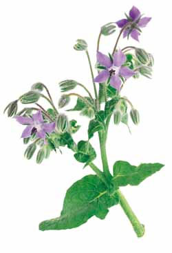 Borage, or Forget-Me-Not