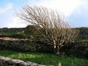Inis Meain tree