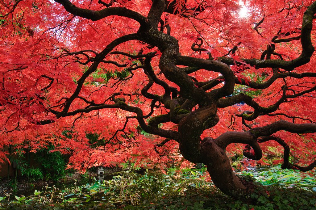 Red Maple by Bruce / Flickr