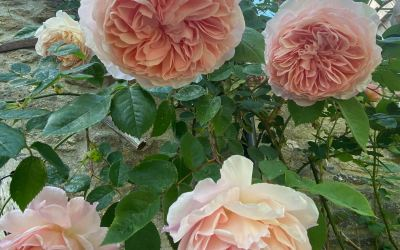Heavens! Isn't it a good year for roses?