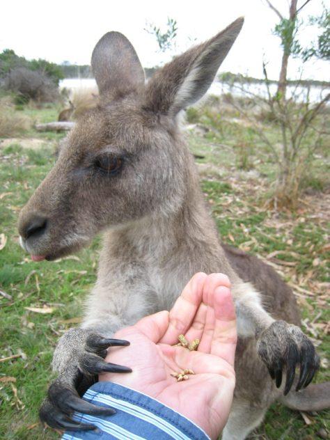 Känguruhs haben ganz schön große Krallen