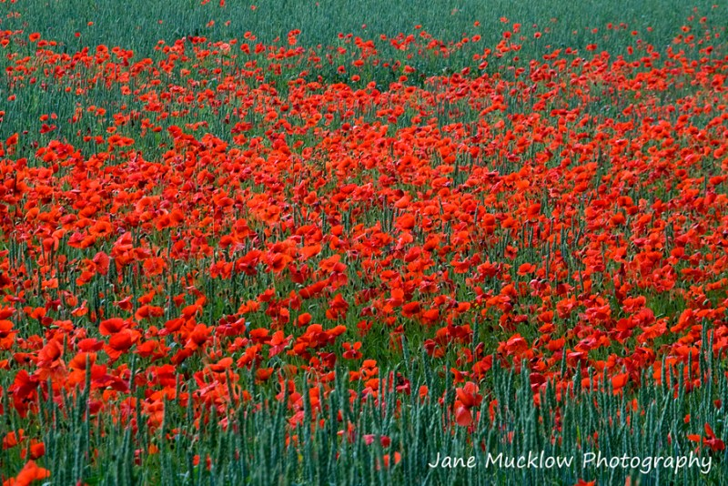 A photograph of a mass of red poppies in a green field, by Jane Mucklow Photography