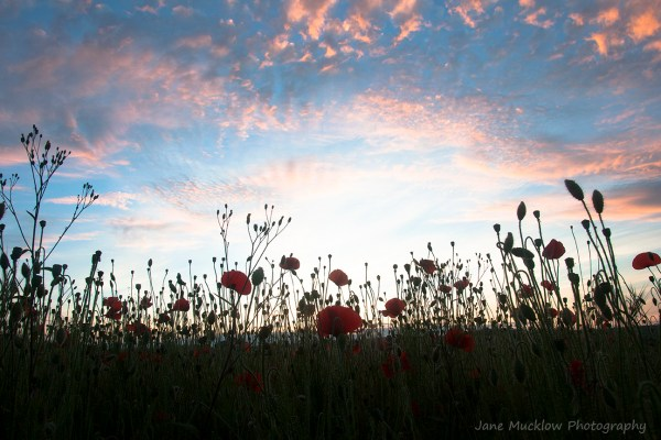 Looking up at poppies, shown against a sunset sky with pinky-orange clouds, photo by Jane Mucklow Photography