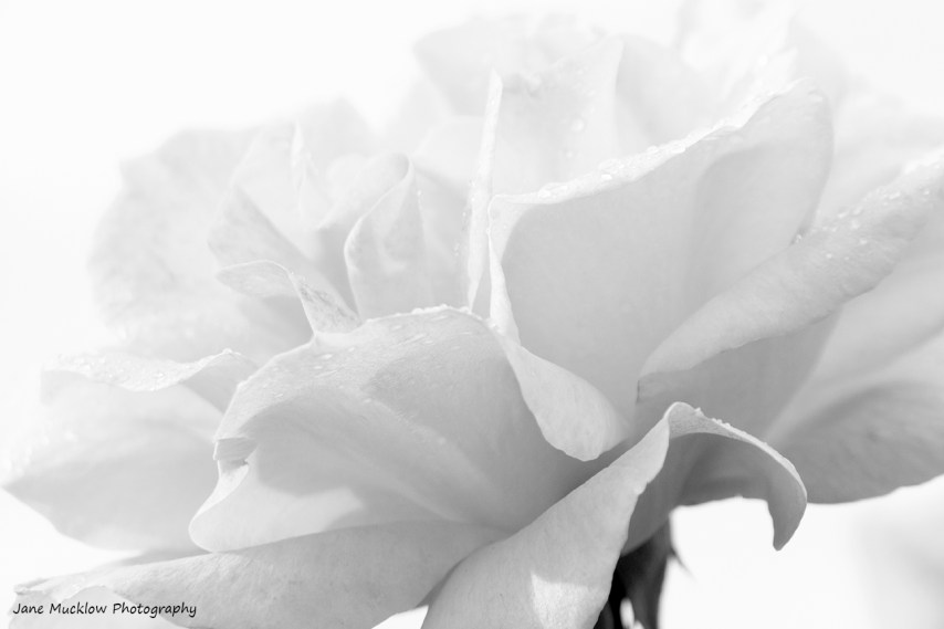Black and white photography of a rose, by Jane Mucklow