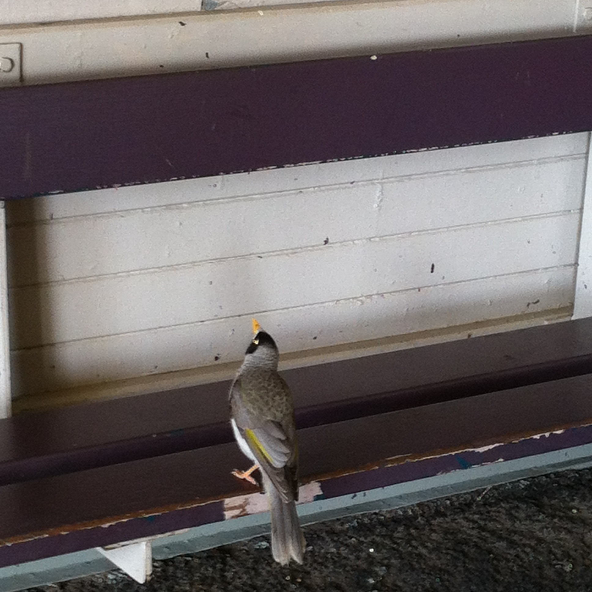 Noisy miner in the waiting room