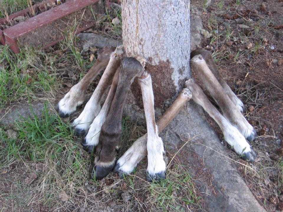 Subsistence Alaskans deer legs
