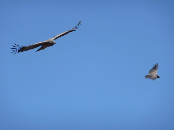 Flying Andean Condors