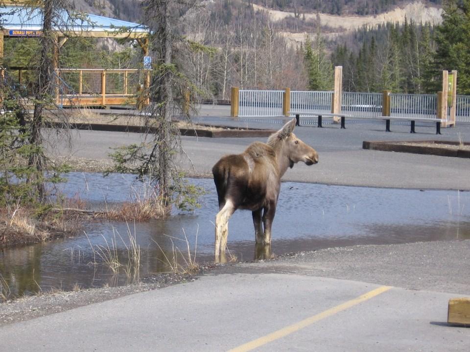 Baby moose in Denali National Park, Alaska
