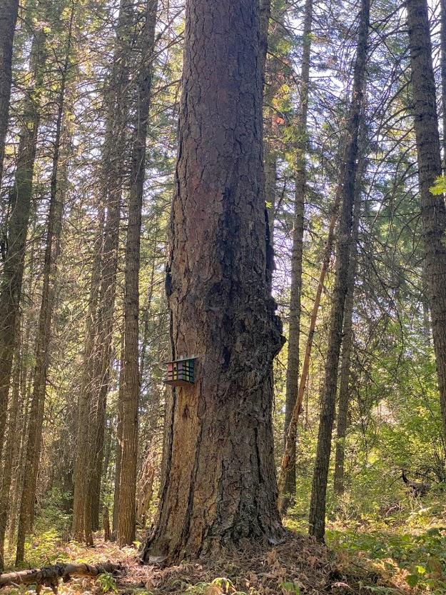 Large pine tree and birdhouse