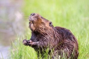 Beavering away