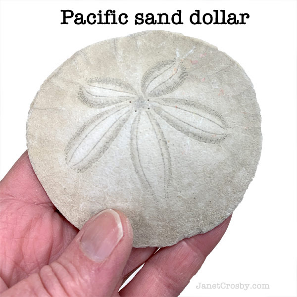 Pacific sand dollar - janetcrosby.com