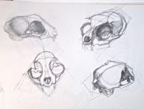 Cat skull drawings.