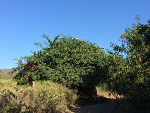 an orange tree, one of many.