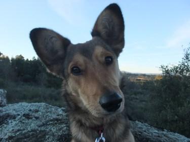 Maisy, those ears