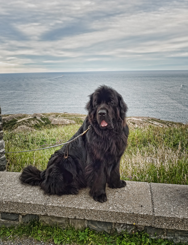 fauna, dog, seascape, Newfoundland, St. John's, NL